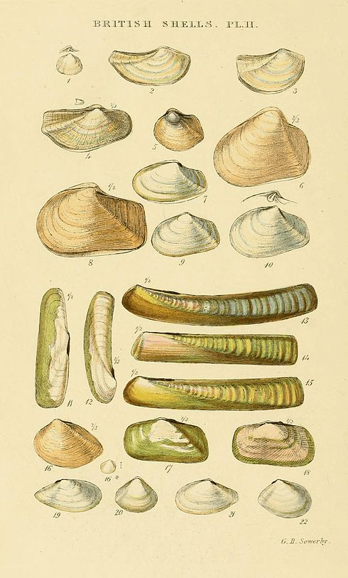 Illustrated Index of British Shells Plate 02.jpg