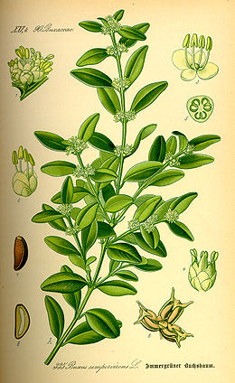 Illustration Buxus sempervirens0