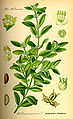 Illustration Buxus sempervirens0.jpg