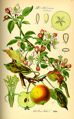 Illustration Malus domestica0.jpg