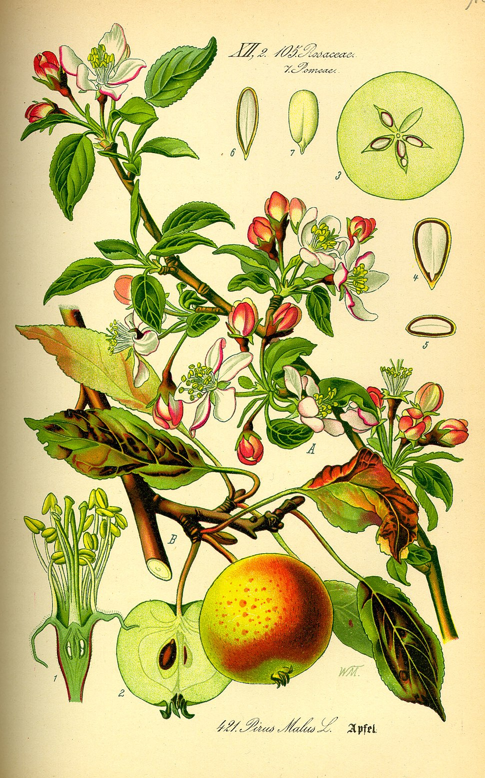 Illustration Malus domestica0