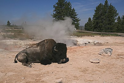 Image-American bison rests at hot spring in yellowstone national park 1.jpg