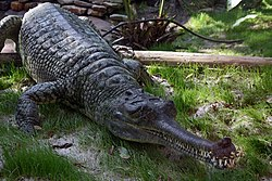 Indian Gharial Crocodile Digon3.JPG