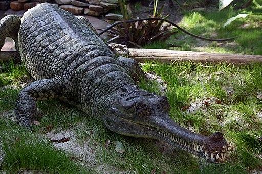 Indian Gharial Crocodile Digon3