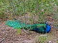 Indian Peafowl (Pavo cristatus) (7128643649).jpg