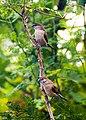 Indian Silverbill (Euodice malabarica).jpg