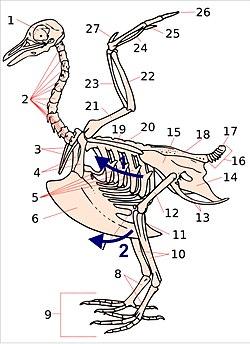 Respiratory system - Wikipedia