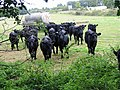 Inquisitive cattle - geograph.org.uk - 563024.jpg