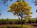 Ipê Amarelo (Tabebuia serratifolia) e canavial (Saccharum officinarum L) na entrada da Estação Experimental do Instituto Agronômico de Campinas - IAC em Ribeirão Preto (atual Centro de Cana IAC-APTA). N - panoramio.jpg