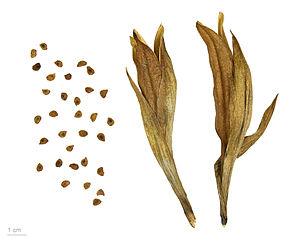 Iris latifolia - Iris latifolia seeds - MHNT