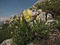 Iris reichenbachii Heuffel.jpg