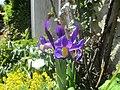 Iris sibirica Yonne.jpg