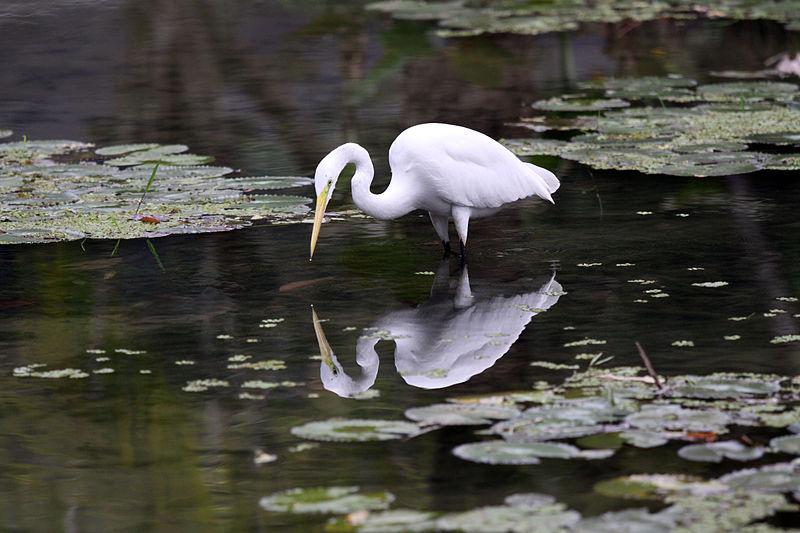 File:JBRJ Garça Branca Grande Pescando 01.jpg