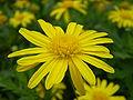 Jacobaea vulgaris 0.1 R.jpg