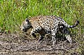 Jaguar (Panthera onca) male hunting along the riverbank ... (27760309373).jpg