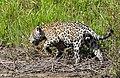 Jaguar (Panthera onca) male hunting along the riverbank ... (27760309373).jpg