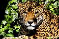 Jaguar Quit-staring.jpg