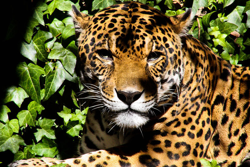 File:Jaguar Quit-staring.jpg
