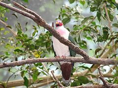 Jambu Fruit Dove.JPG