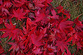 Japanese Maple Acer palmatum Ground Leaves 3008px.jpg