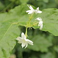 Jasminum sambac-IMG 4465.jpg