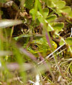 Jewelled Lizard (Timon lepidus) in the grass (14337898494).jpg