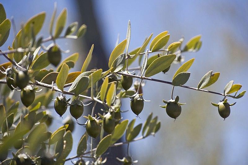 fruit du jojoba sur l'arbre