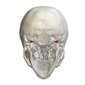 Jugular process of occipital bone05.png