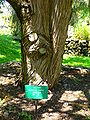 Juniperus cedrus trunk.JPG