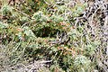 Juniperus oxycedrus - Genévrier cade 20140730.jpg