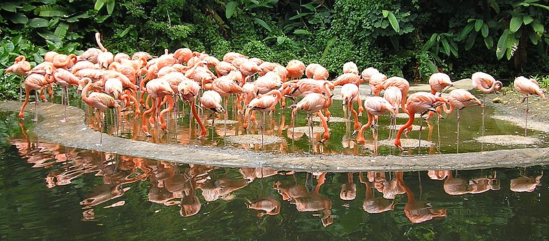 Caribbean Flamingoes in Jurong Bird Park