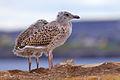Juvenile Herring Gull2.jpg