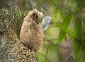 Juvenile Madagascar Scops Owl (Otus rutilus), Andasibe, Madagascar.jpg