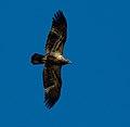 Juvinile bald eagle investigating (6328664739).jpg