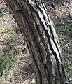 Kızılçam - Pinus brutia 06.jpg