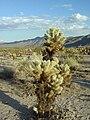 Kaktus im Joshua-Tree-Nationalpark.jpg