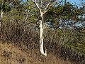Karaya tree (3155406477).jpg