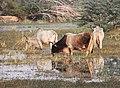 Keoladeo-Vogelschutzpark-32-Kuh-2018-gje.jpg