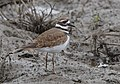 Killdeer (24032725148).jpg