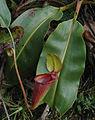 Kinabalu Mesilau N. rajah upper pitcher plant 2 new.jpg