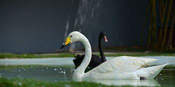 King Duck.jpg