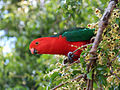 King Parrot in South-East Queensland.jpg