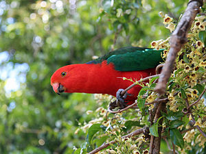 Australian king parrot - Male in south-east Queensland