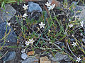 Kings sandwort Antennaria kingii.jpg