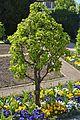 Klostergarten Seligenstadt Williams Christ Pear Tree.jpg