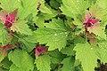 Kluse - Chenopodium giganteum - Magentaspreen 12 ies.jpg