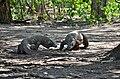 Komodo Dragons, Komodo, 2016 (04).jpg