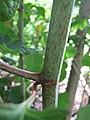 Korina 2012-06-18 Fallopia japonica 9.jpg