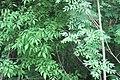 Korina 2013-05-23 Fraxinus pennsylvanica.jpg