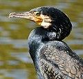Kormoran (Phalacrocorax carbo) 04,.jpg